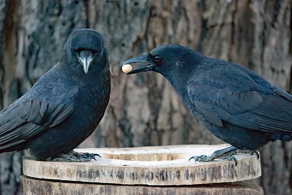 Crow Buddies Share a Peanut.