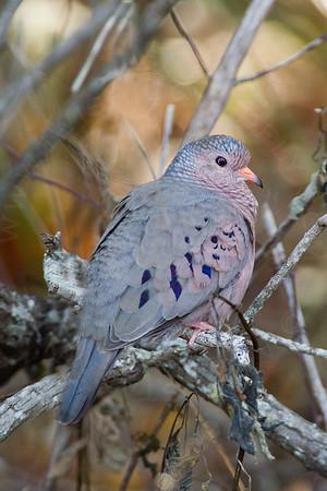 Dove, Common Ground