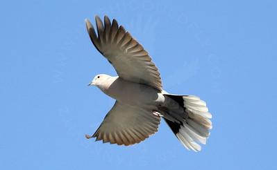 Dove, Eurasian Collared