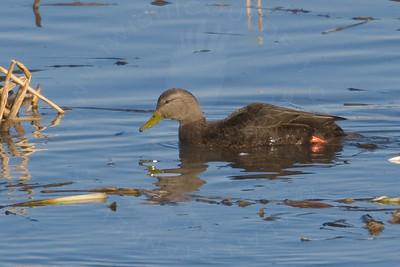 Duck, American Black