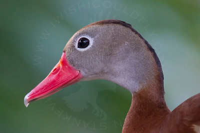 Duck, Black-Bellied Whistling