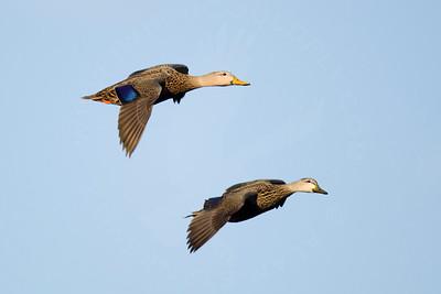 Duck, Mottled