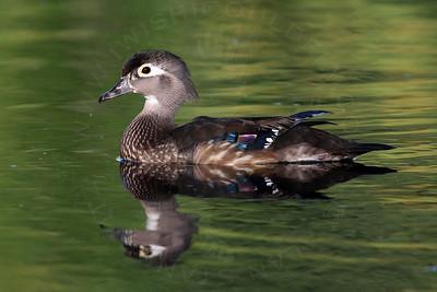 Duck, Wood