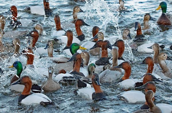 A Duck Celebration!