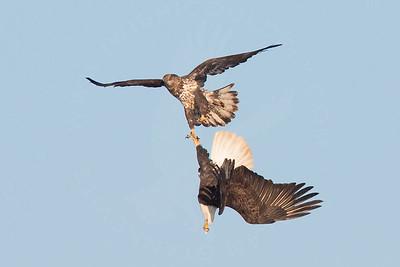 Eagle, Bald [Chasing]