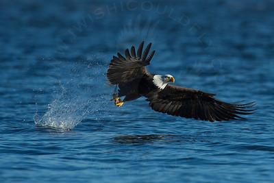 Eagle, Bald [Fishing]