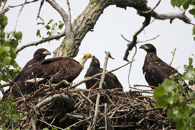 Eagle, Bald [Nest]