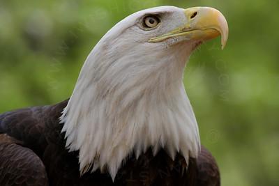 Eagle, Bald [Portrait, Head Only]