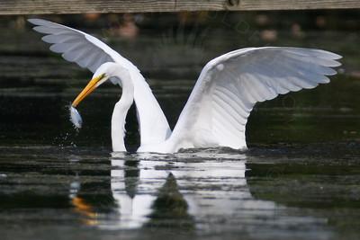 Egret, Great [Hunting-Fishing]