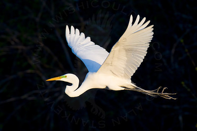 Egret, Great [In-Flight]