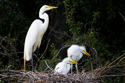 Egret, Great [Rookery]
