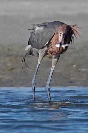 Egret, Reddish [Dark Morph]