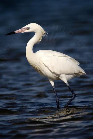 Egret, Reddish [White Morph]