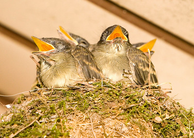 Eastern Phoebe youngin's.   A nest full, 4 of them, and they are a day before fledging in this photo.