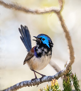 Variegated Fairy-wren, male_0533