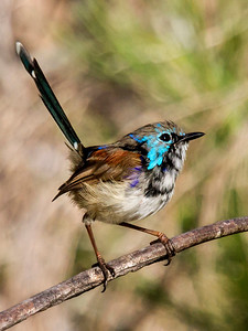 Variegated Fairy-wren in eclipse - 2015