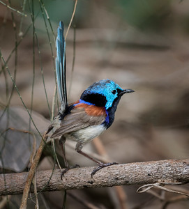 Variegated Fairy-wren_0011