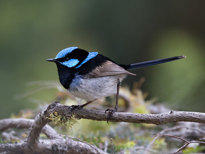 Superb Fairy-wren_99A8449