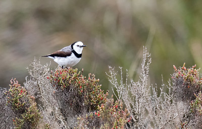 White-fronted Chat_1272