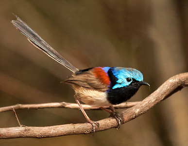 Variegated fairy-wren_136