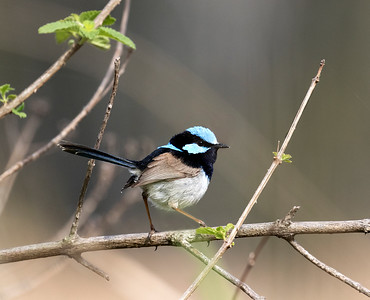 Superb Fairy-wren - 5223
