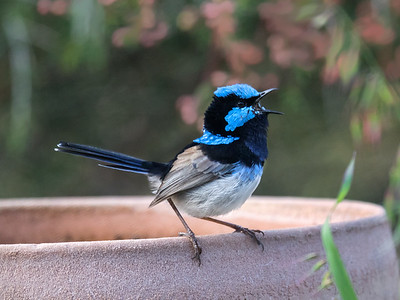 Superb Fairy-wren_7032