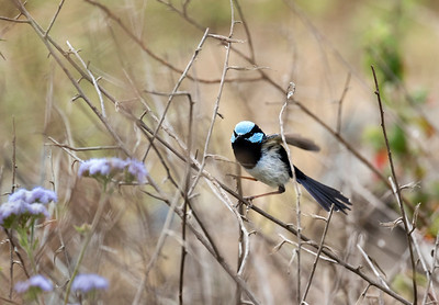 Superb Fairy-wren - 1067