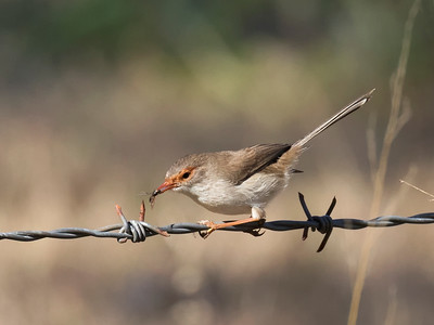 Superb Fairy-wren,female - 3802