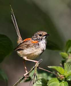 Red-backed Fairy-wren_9231a