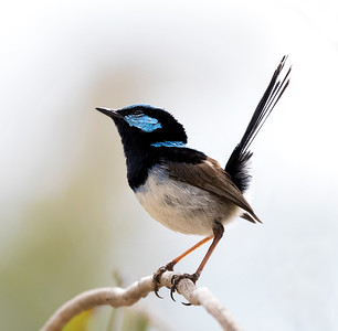 Superb Fairy-wren - 1093