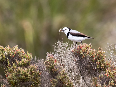 White-fronted Chat_1350