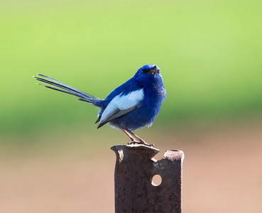 White-winged Fairy-wren 4891