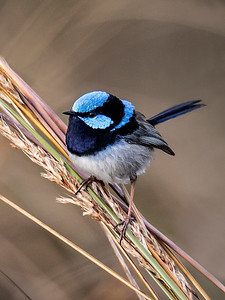 Superb Fairy-wren_1055