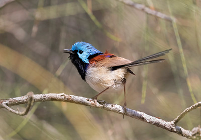 Varigated Fairy-wren - 5043