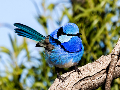 Splendid Fairy-wren_7323