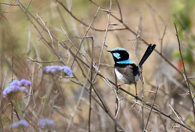 Super Fairy-wren - 1062
