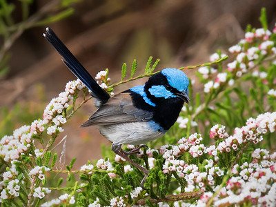 Superb Fairy-wren_7982