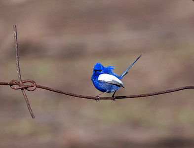 White-winged Fairy-wren - 5070