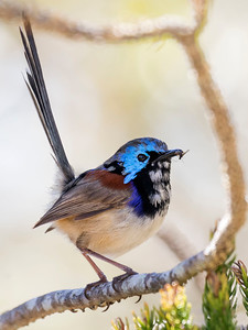 Variegated Fairy-wren 0523