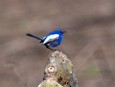 White-winged Fairy-wren - 5508
