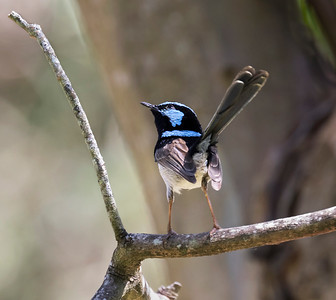Superb Fairy-wren - 9563