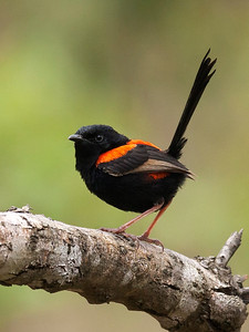Red-backed Fairy-wren,male-299