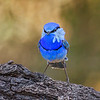 Splendid Fairy-wren_88964_m