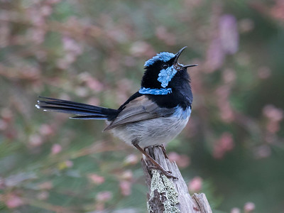 Superb Fairy-wren, male_7157