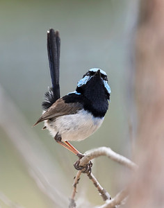 Superb Fairy-wren - 1089