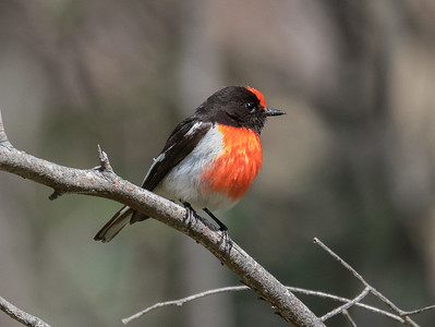 Red-capped Robin_0270
