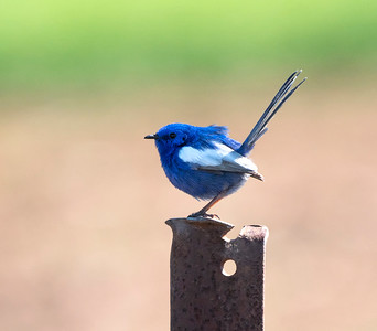 white-winged Fairy-wren - 4919
