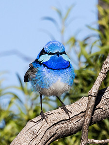 Splendid Fairy-wren - 7343