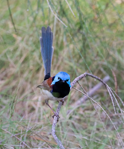 Variegated Fairy-wren - 4975