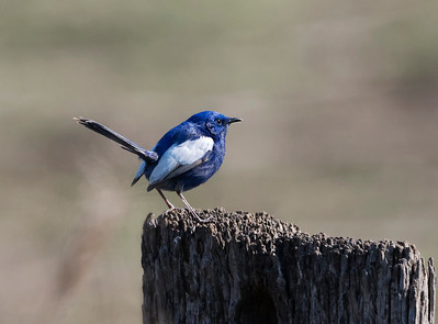 White winged Fairy-wren - 4753